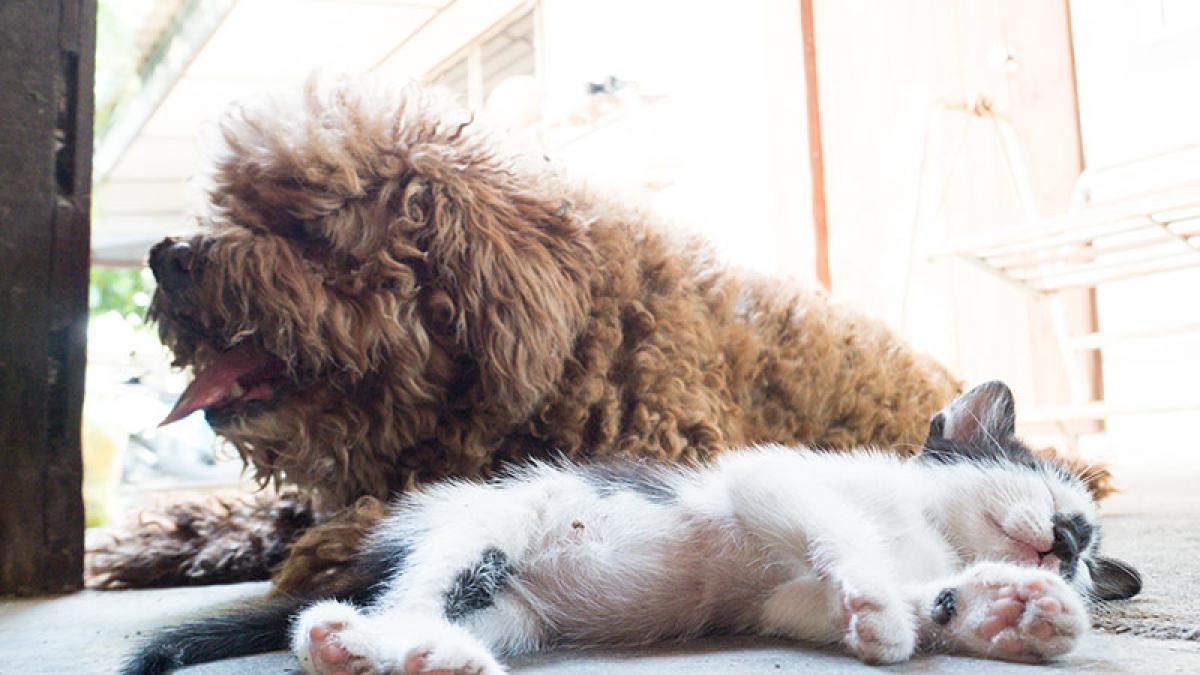 KOE México: Gato Pardo Pata de Perro